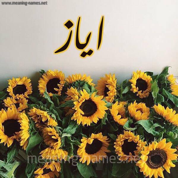 صورة اسم اياز Ayaz شكل 17 صوره دوار الشمس للإسم بخط رقعة